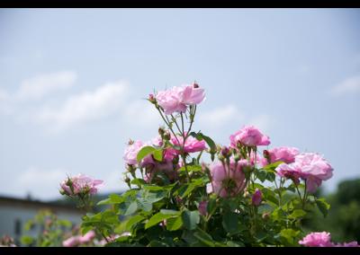 Fleurs (13)